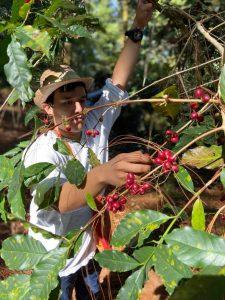 Cosecha selectiva de la cereza del café